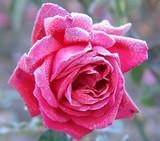 rose under hoar-frost poster