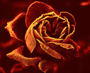 red rose under hoar-frost