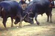 bull fight 8 - 106335