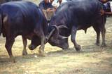 bull fight 8