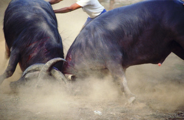 bull fight 5