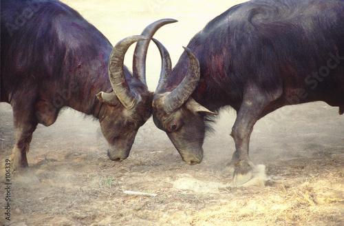 Leinwanddruck Bild bull fight 9