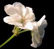 geranium white 2