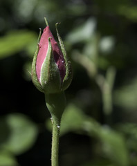 one pink rose bud