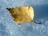 autumn leaf on snow poster