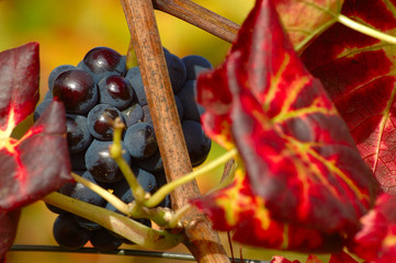 raisin d'automne