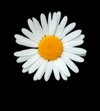 the daisy poster