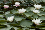waterlily - 112985
