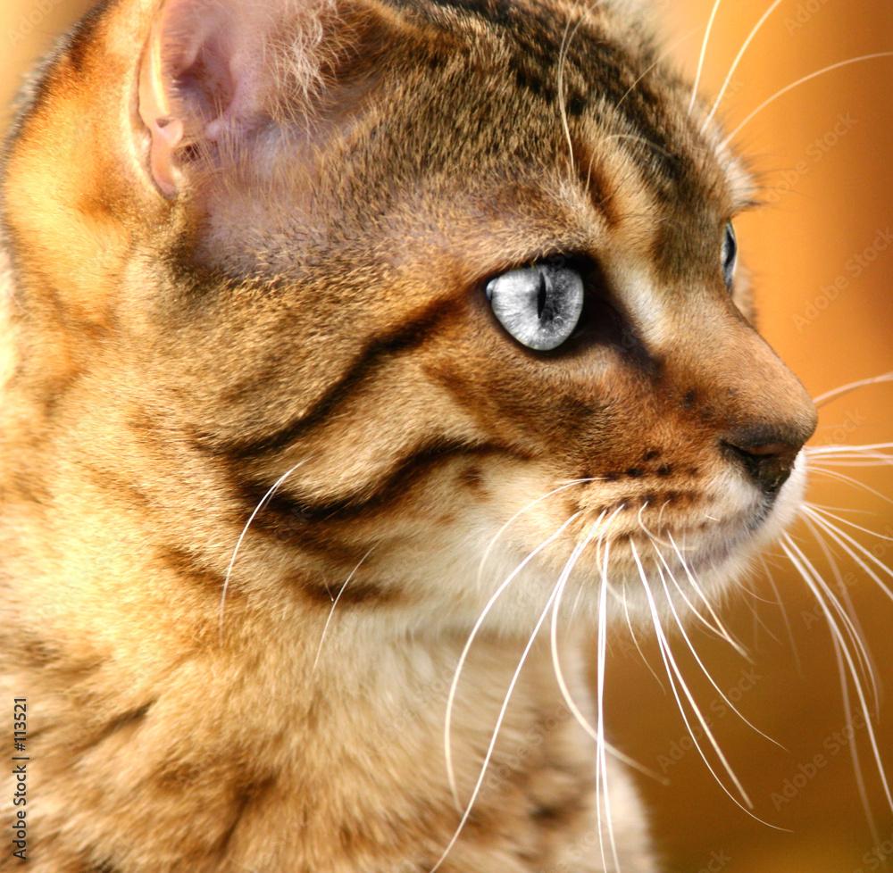 Srebrne oczy kota - powiększenie
