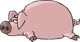 pig lying flat poster