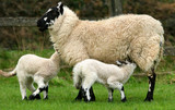 breast feeding hungry lambs poster