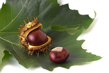 two chestnuts on the leaf