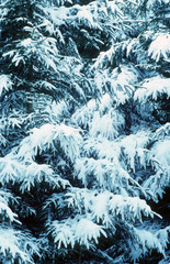 snow laden trees
