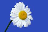 a summer daisy poster