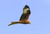 high flying red kite poster