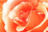 sparkling rose poster