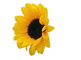 sunflower head poster