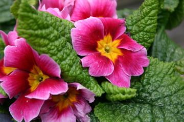 close pink flower