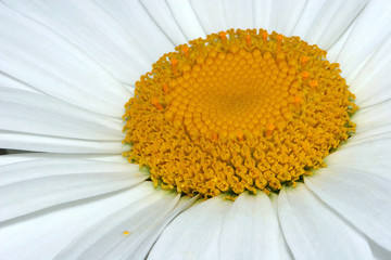 the centre of the daisy