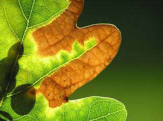 close-up of autumn oak leaf