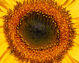 sunflower spirals poster