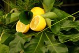 lemons and greenery poster