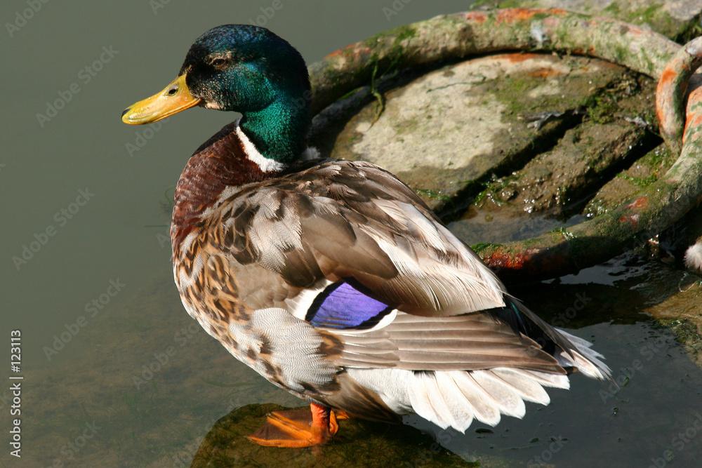 mallard mallard ptak - powiększenie