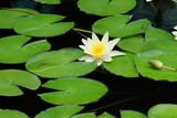 single water lilly poster
