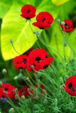 red japanese poppies poster