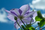 light purple clematis poster