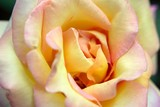 savoy hotel rose poster