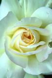 a cream-colored garden party rose poster