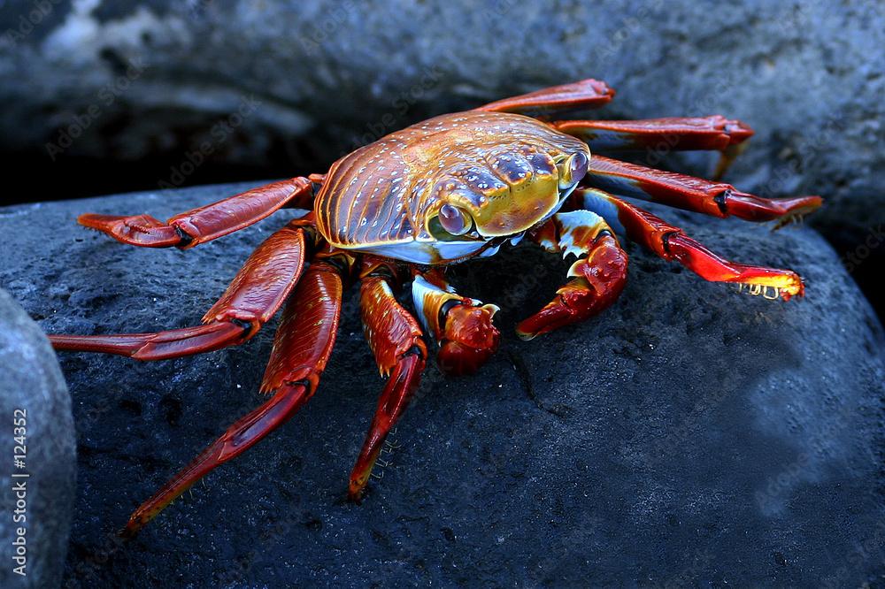 krab zwierzę czerwony - powiększenie