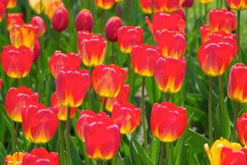 fire red and yellow tulips