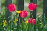 deep pink tulips among dwarf daffodils poster