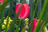 deep pink tulip poster