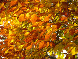 golden fall leaves poster