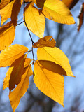 backlit fall leaves poster
