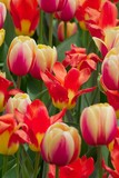 red open tulip amid multi-colored tulips poster
