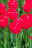 deep red tulips poster