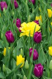 yellow tulips amid purple poster