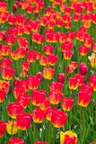field of red and yellow tulips poster