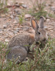 best wild rabbit