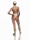 anatomie, transparant svaly s kostrou.