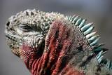 galapagos sea iguana poster