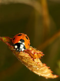 fall ladybug poster
