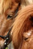 danish horses 12 poster