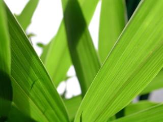 feuilles d'iris