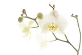 orchidee 004