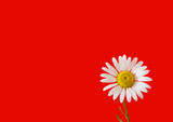 daisy on red